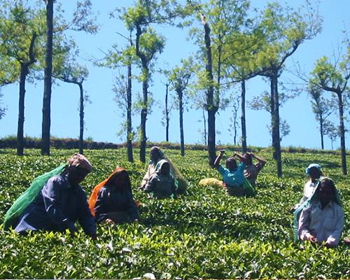 シンガンパティ紅茶生産者