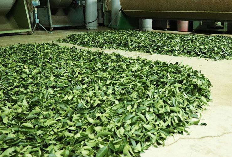 林農園の台湾烏龍茶 室内萎凋